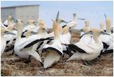 CapeGannets
